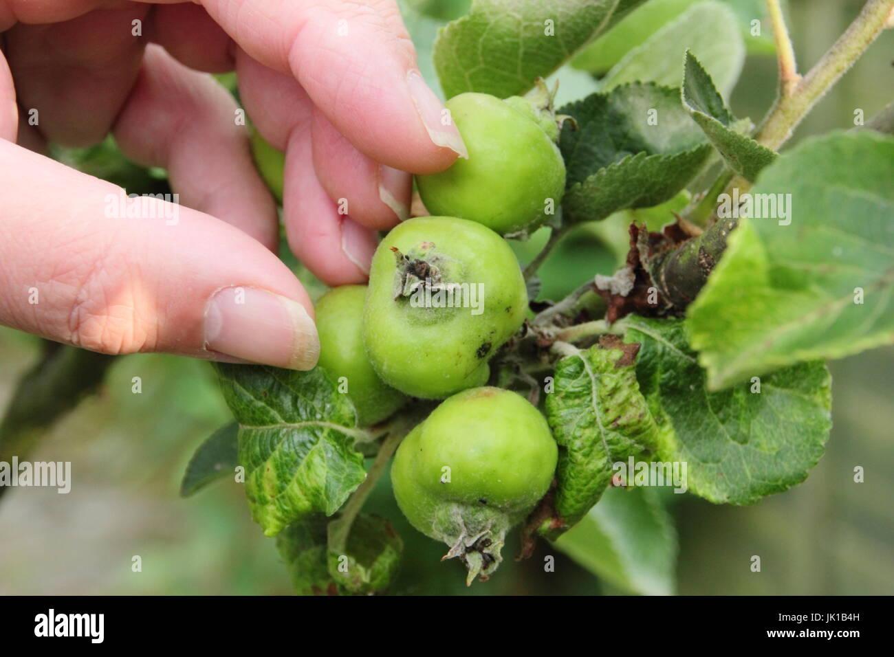 Jardinero adelgazamiento Bramley jóvenes plántulas de manzanas (Malus domestica) en verano para fomentar Imagen De Stock
