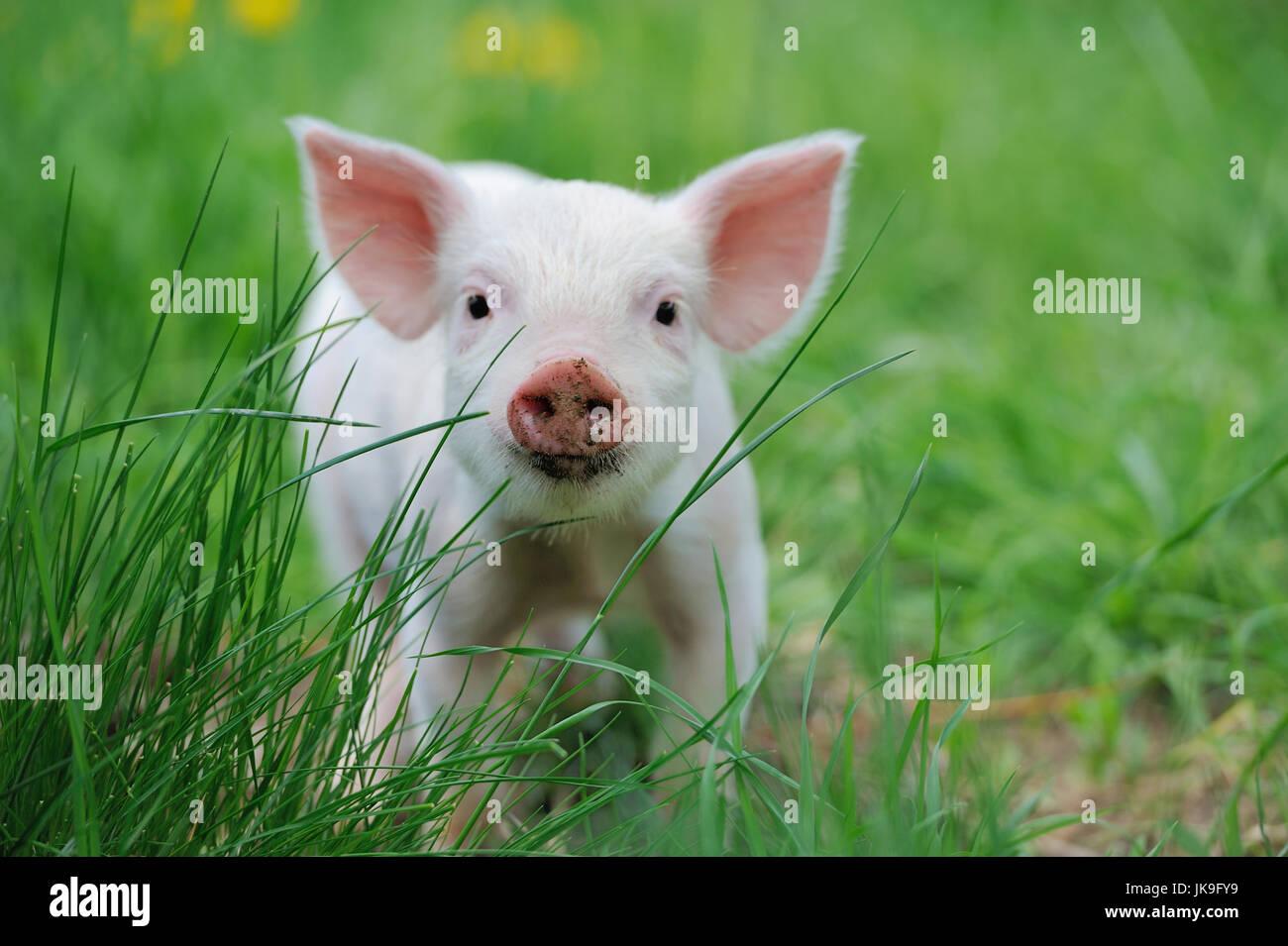 Lechón en primavera en una granja de hierba verde Imagen De Stock
