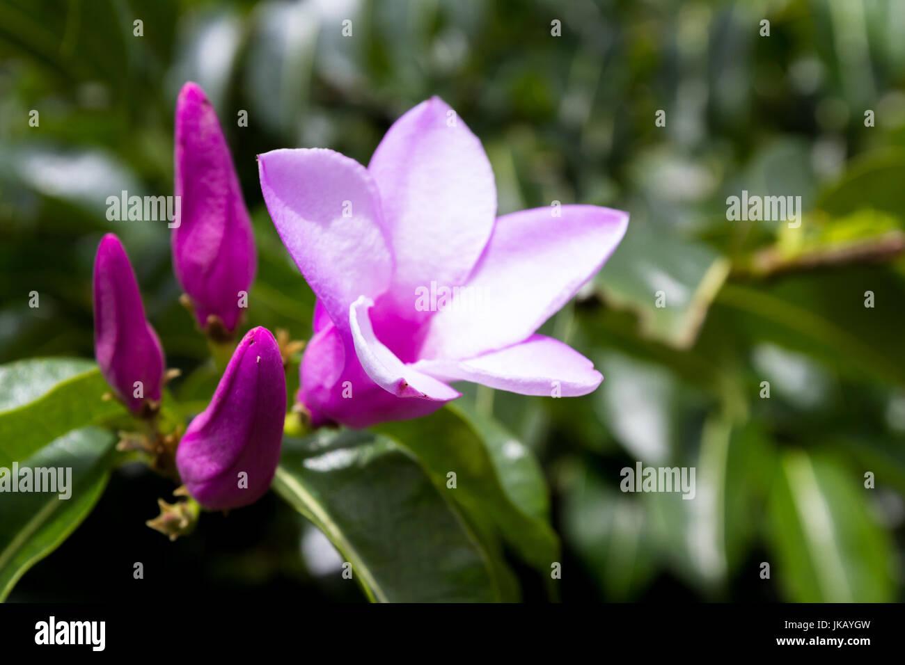Cerca De Una Hermosa Flor Morada Con Cinco Pétalos Delicados Con Un Grupo De Flores Listo Para Abrir Y Vegetación Natural En El Fondo Fotografía De Stock Alamy