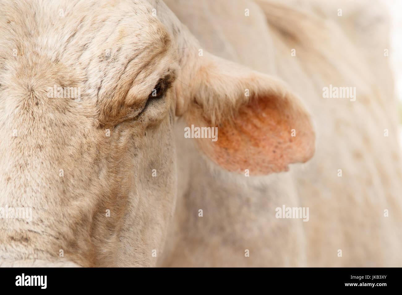 La vida cotidiana en la granja de vacas en el campo. Primer plano de una vaca, ganado en cuerpo estable Imagen De Stock