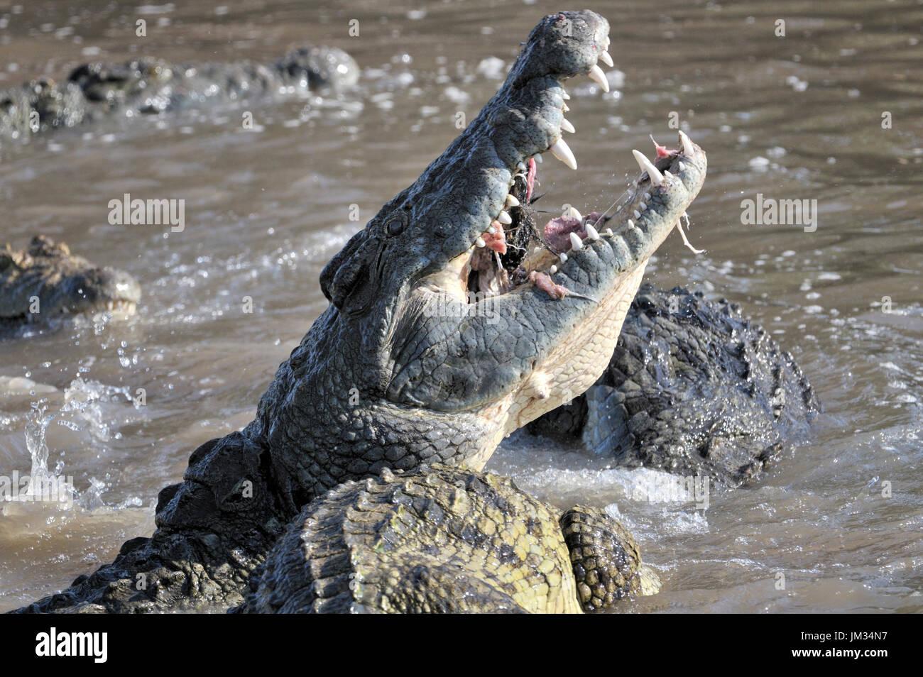 Los cocodrilos del Nilo (Crocodylus niloticus) de comer, río Grumeti, Parque Nacional del Serengeti, Tanzania. Imagen De Stock