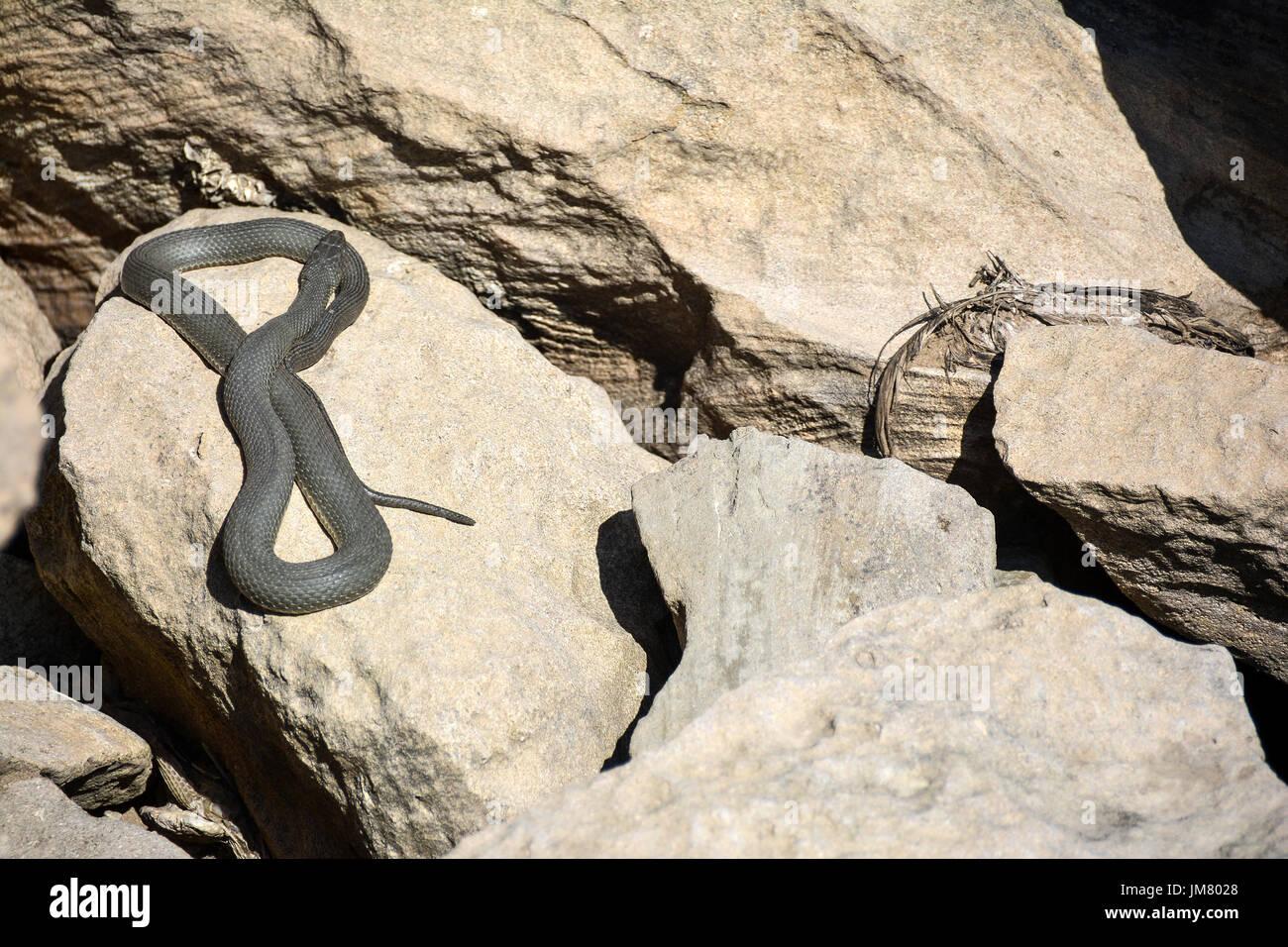 La Serpiente en las rocas Imagen De Stock