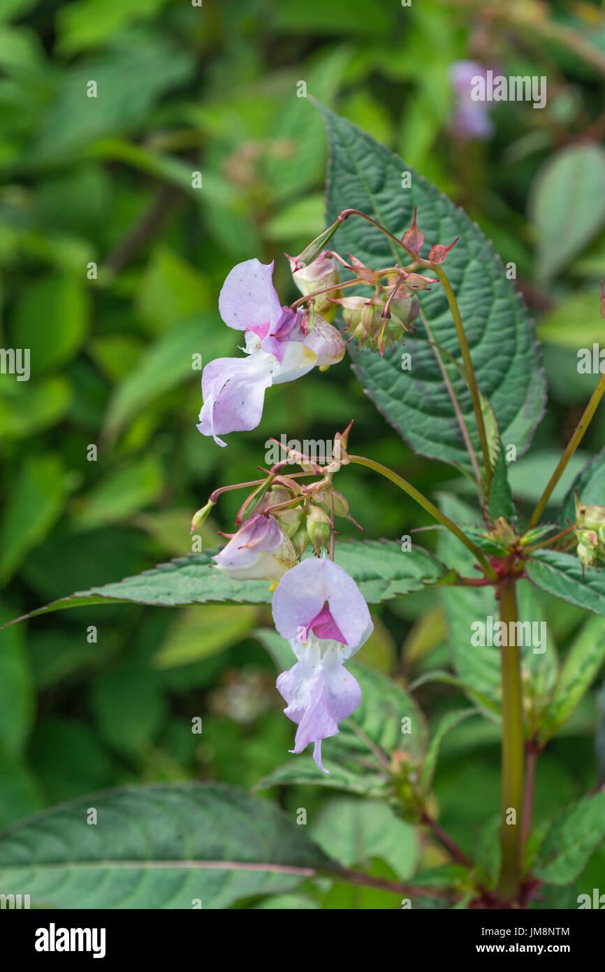 Flores de color rosa de bálsamo del Himalaya / Impatiens glandulifera - una amenaza de maleza a canales, ríos y arroyos. Problemática maleza invasora. Foto de stock