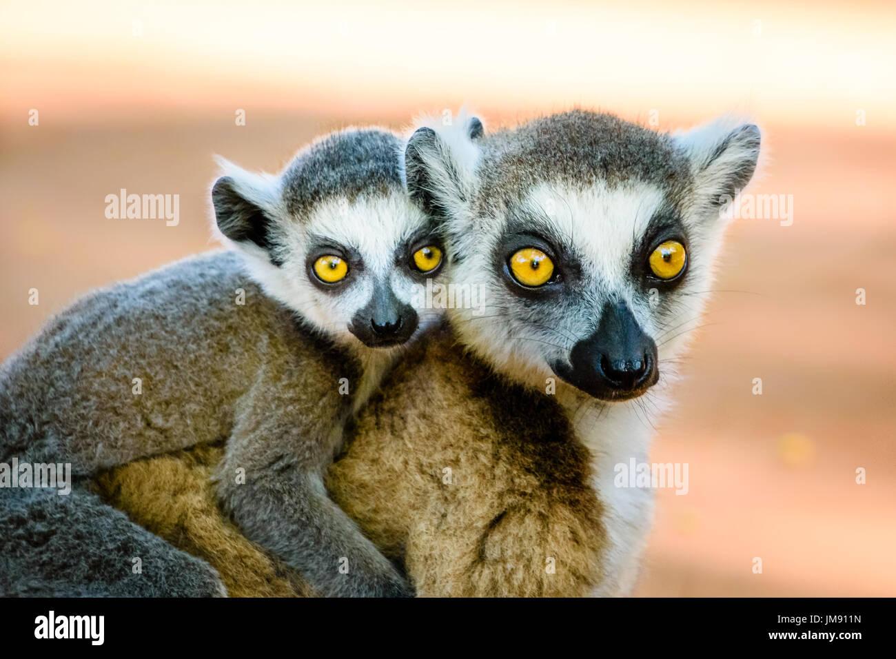 Cute ring tailed lemur llevar el bebé en la espalda mirando a la cámara con hermosos ojos Foto de stock