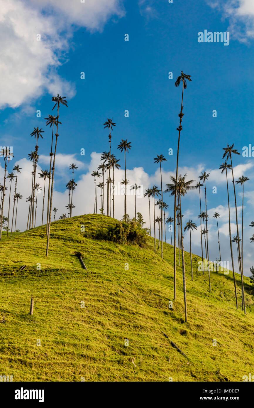 El bosque de Las Palmas, paisajes de palmeras en el Valle de Cocora cerca de Salento Quindio en Colombia Sudamérica Imagen De Stock