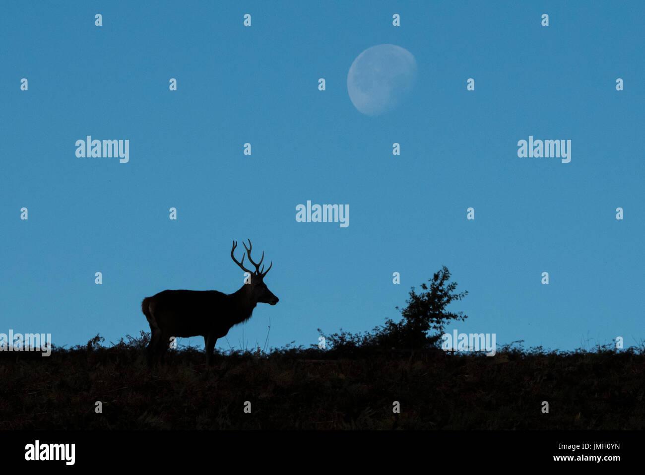 El ciervo el ciervo durante la temporada de celo Foto de stock
