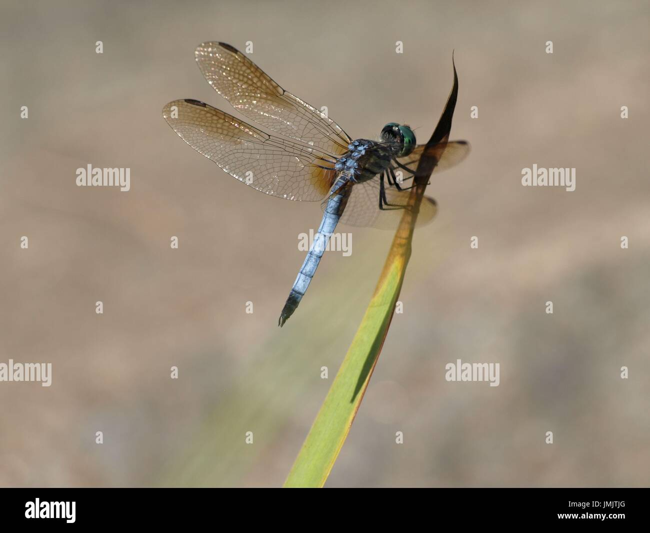 Libélula azul con alas iridiscentes en planta de tallo verde Foto de stock