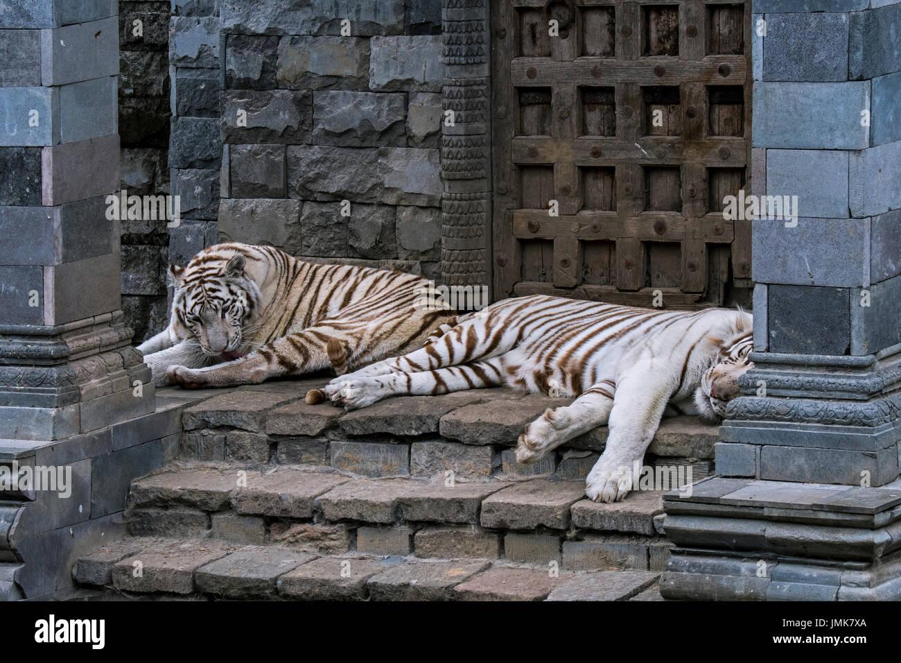 Dos tigres blancos blanqueados / tigre (Panthera tigris), nativa de la India, apoyada en el templo Foto de stock