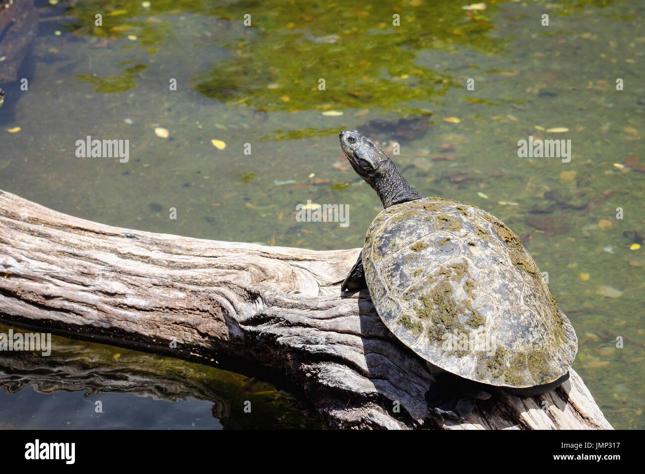 Manchas amarillas Podocnemis unifilis tortuga Amazónica - Imagen De Stock
