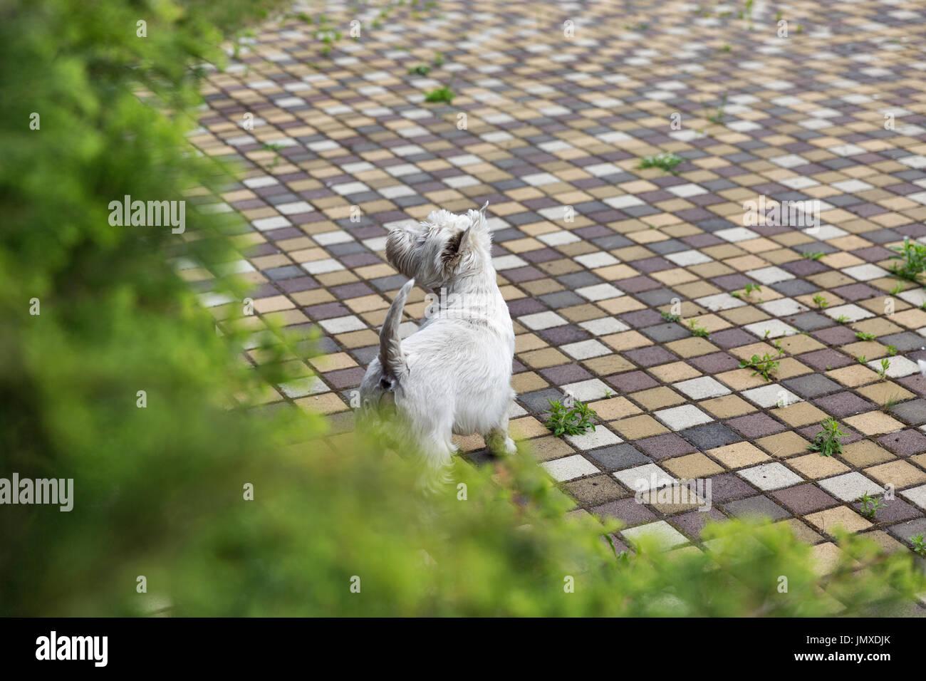 Westie perro sobre el pavimento mosaico. West Highland White Terrier, conocido comúnmente como el Westie, una raza de perro de Escocia. Foto de stock