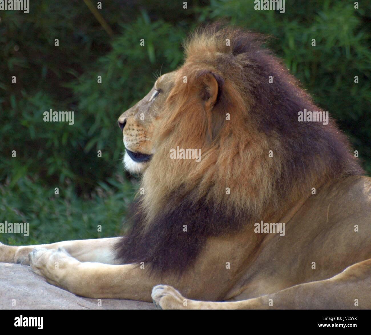 Majestuoso león macho relajante sobre roca, mirando hacia fuera. Foto de stock