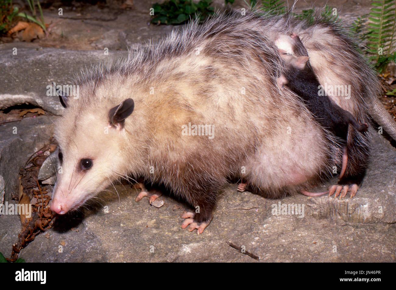 Possum (Didelphimorphia) madre con bebés aferrándose a su espalda, Missouri, EE.UU. Imagen De Stock