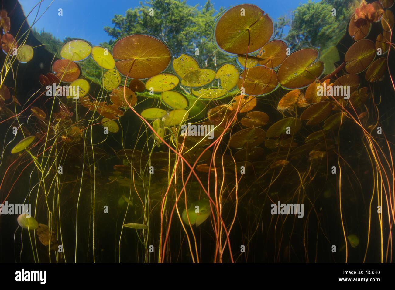 Nenúfares crecen al borde de un estanque de agua dulce en Cape Cod, Massachusetts. Esta hermosa península de Nueva Inglaterra tiene muchos lagos y estanques de hervidor de agua. Imagen De Stock