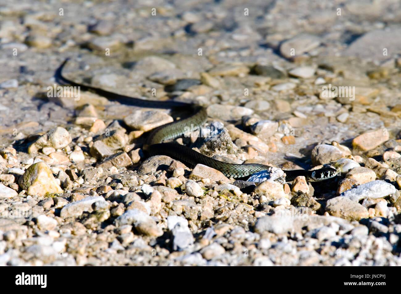 La culebra (Natrix natrix) rodada en una orilla de un lago. Imagen De Stock