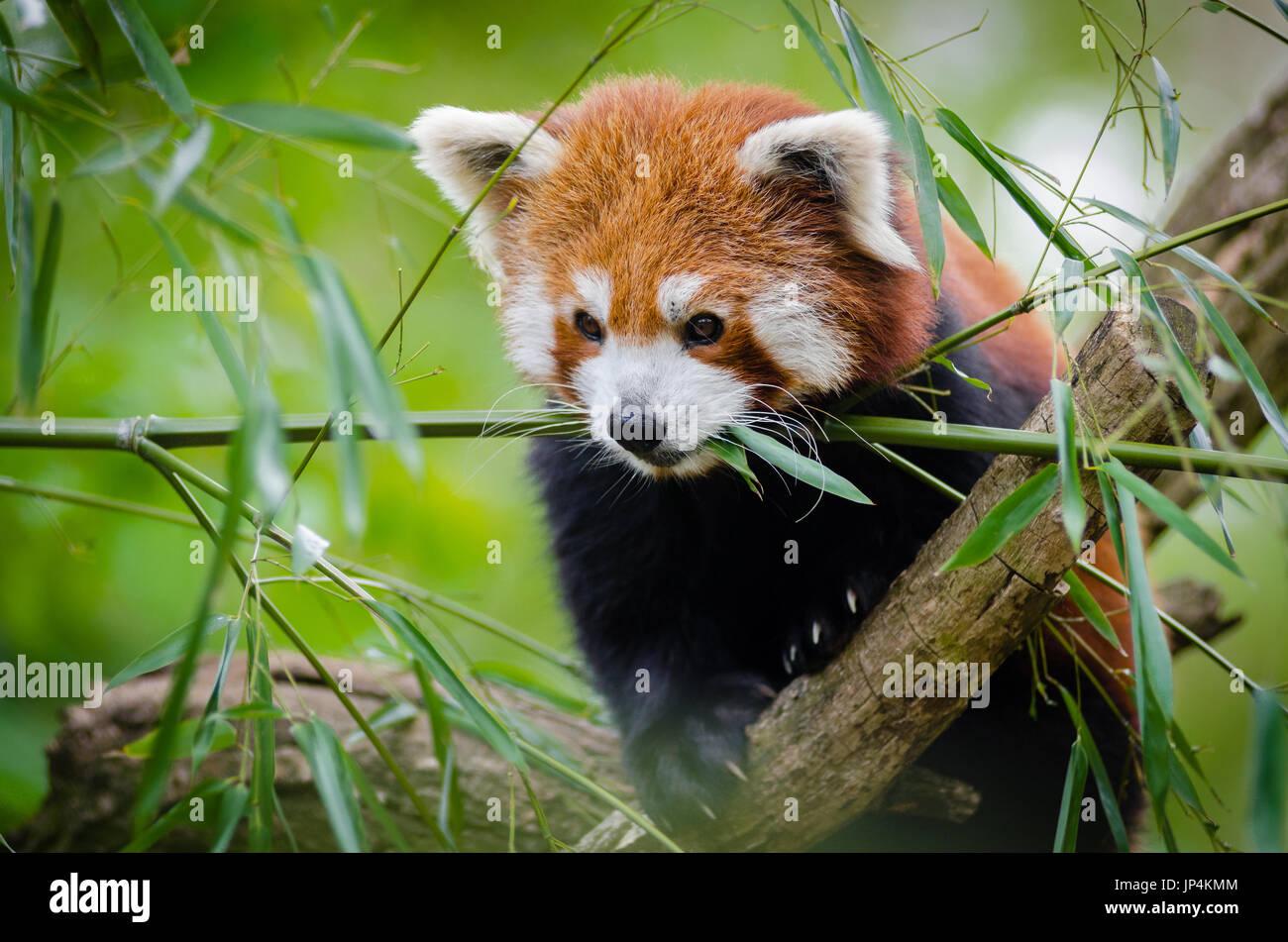 Panda rojo en el árbol Foto de stock