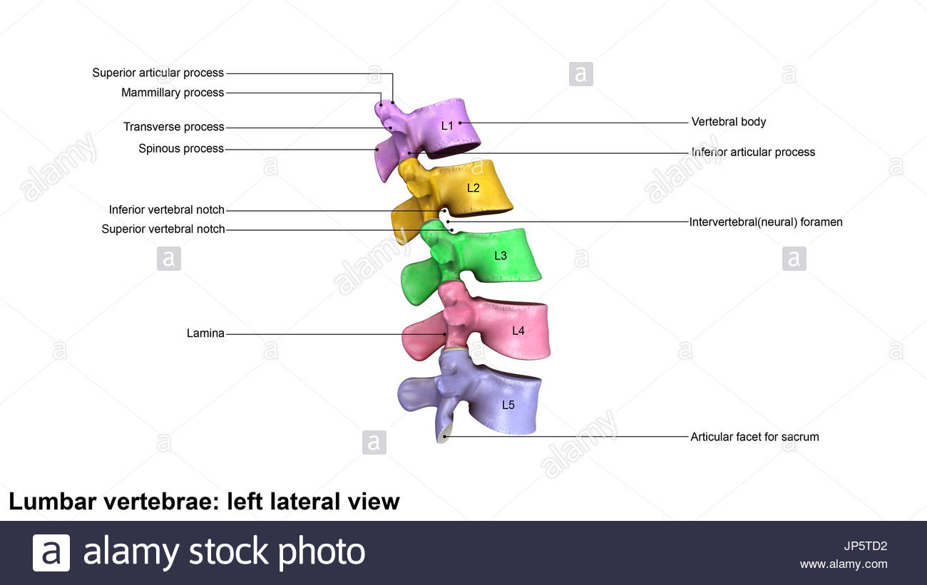 Vertebral Arch Imágenes De Stock & Vertebral Arch Fotos De Stock - Alamy