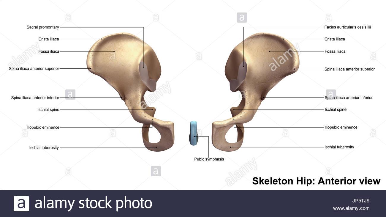 Esqueleto pélvico Foto & Imagen De Stock: 151334465 - Alamy