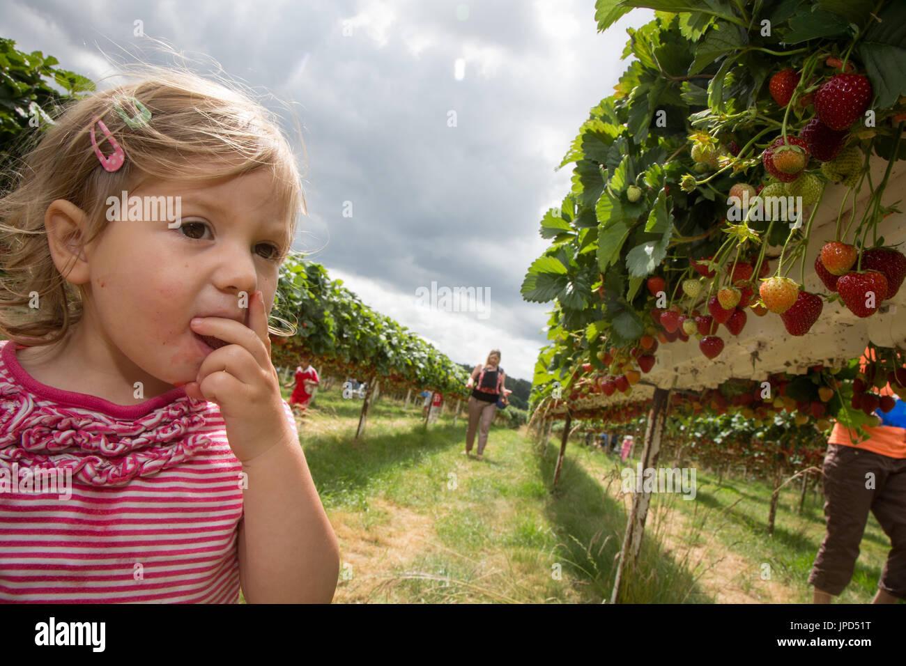 Un niño niña de 18 meses comer fresas en un pick-su propia granja en Inglaterra. Su madre y su hermana de bebé son en el fondo Imagen De Stock