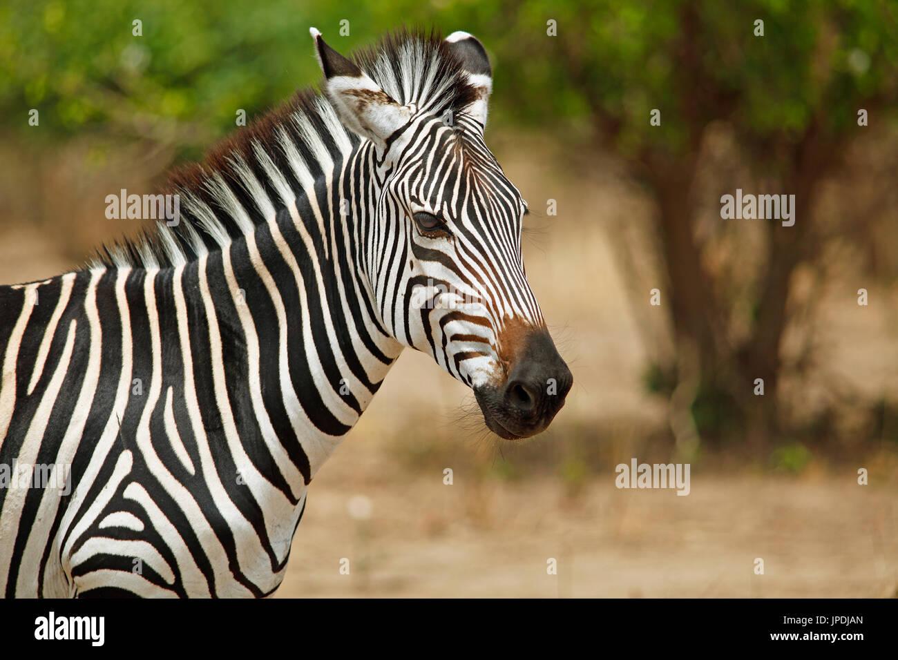 Llanuras cebra (Equus quagga), retrato de animales, el Parque Nacional Luangwa del Sur, Zambia Imagen De Stock