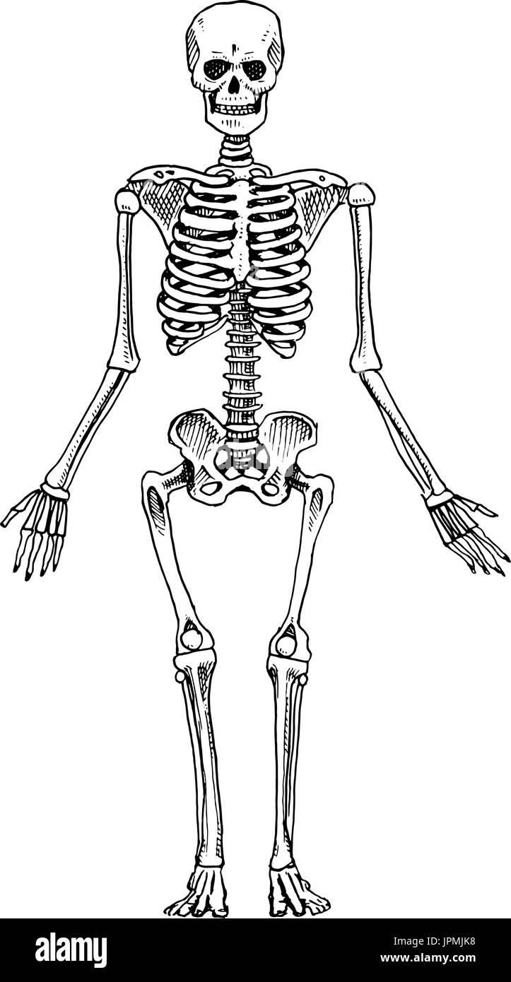 La biología humana, la anatomía ilustración. grabado dibujado a mano ...