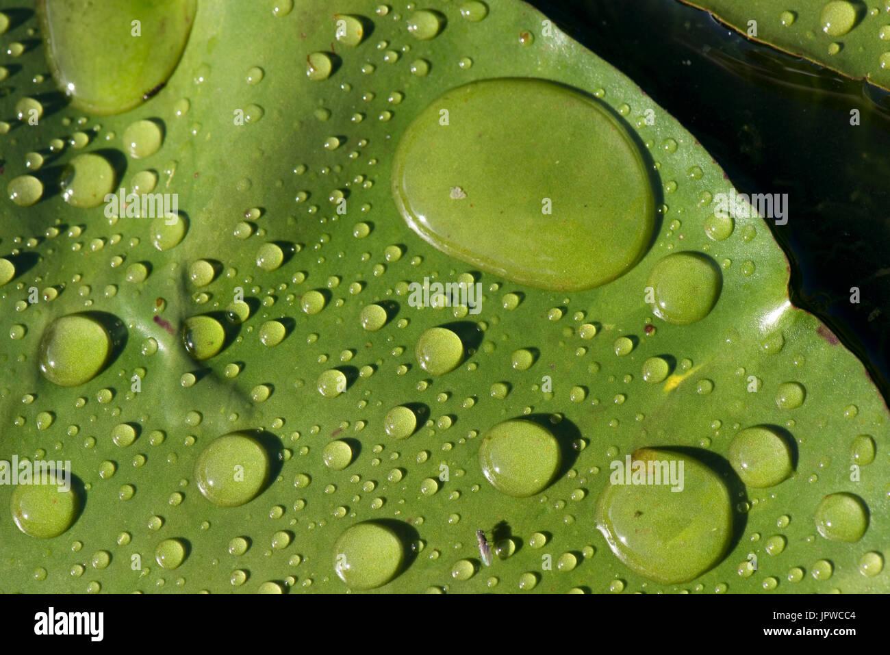 Las gotas de lluvia redonda y discreto en la brillante luz del sol sobre la superficie de una hoja de lirio de agua en un día de verano, showery muy repelente al agua. Imagen De Stock