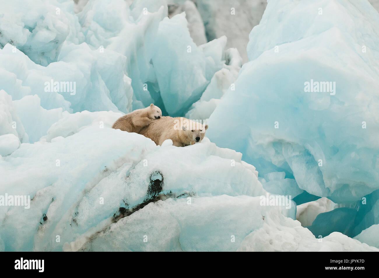 Oso Polar y jóvenes descansan sobre un iceberg - Spitsbergen Imagen De Stock