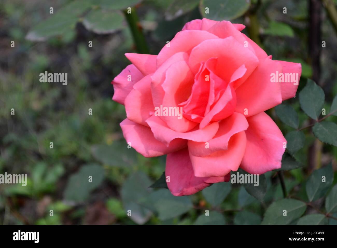 Rosas rojas cada día 3 Imagen De Stock