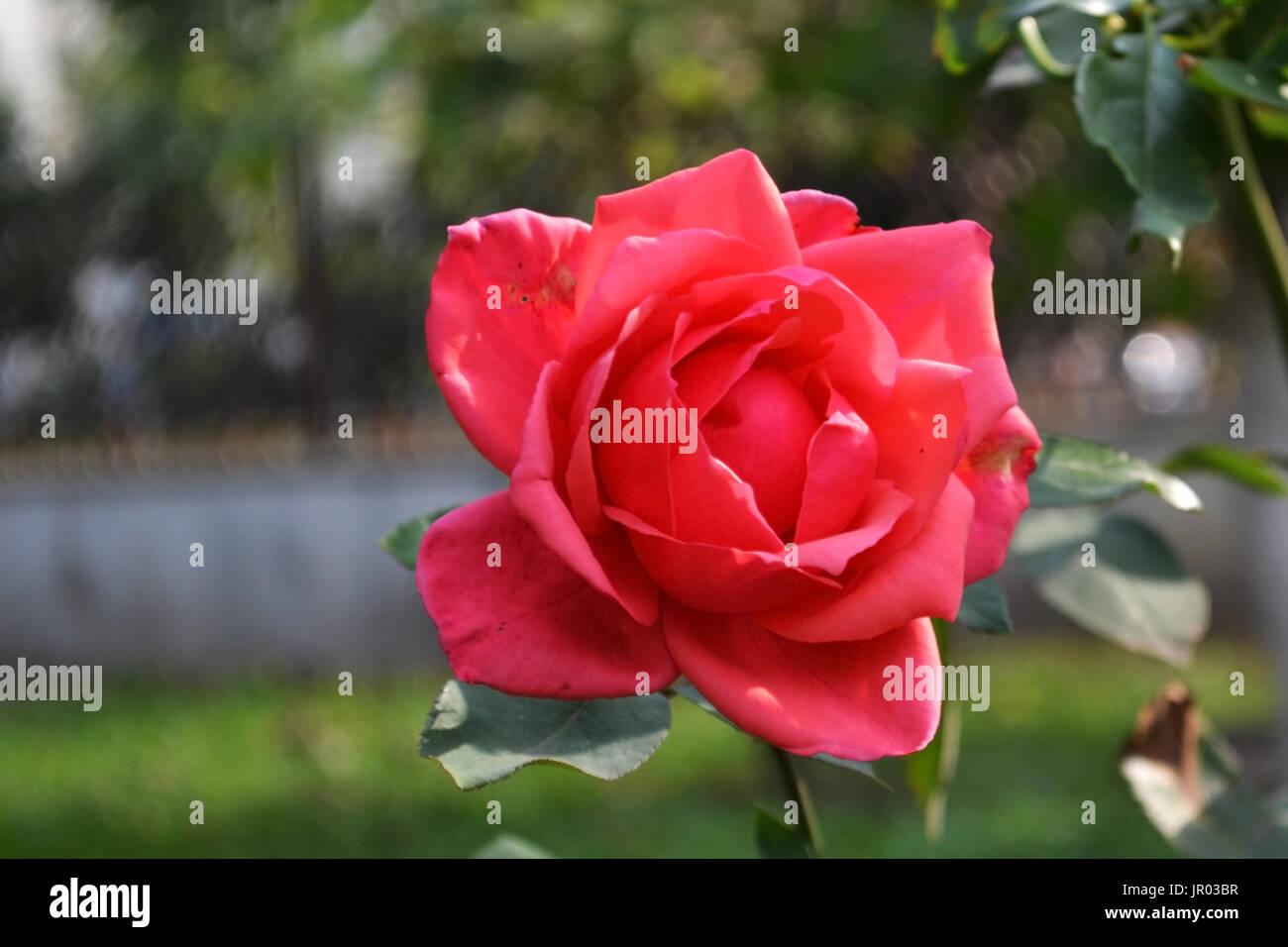 Rosas rojas cada día 2. Imagen De Stock