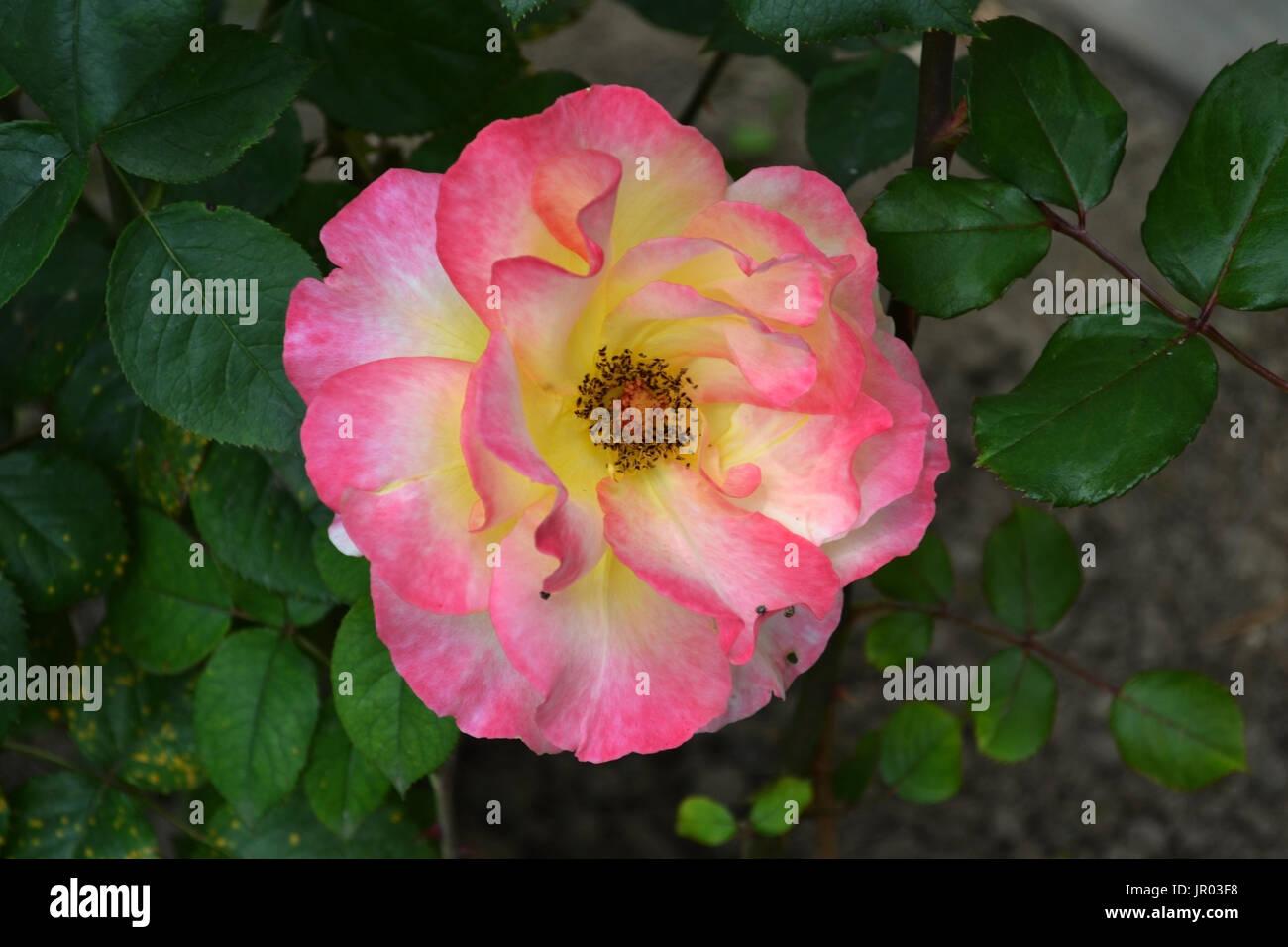 Rosas rosas cada día 2. Imagen De Stock