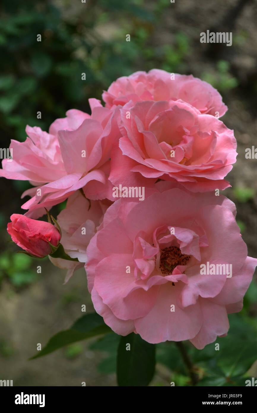 Rosas rosas cada día Imagen De Stock