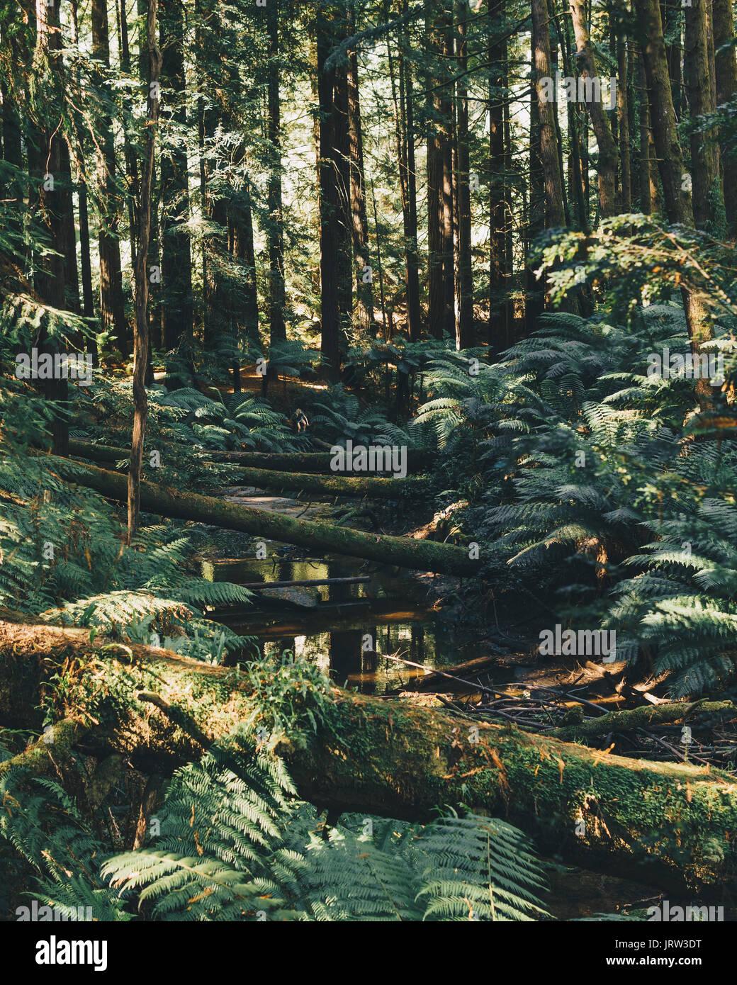 Los hermosos bosques de secoyas en el Otways bañarse en la impresionante luz cálida tarde con helechos y un arroyo. Foto de stock