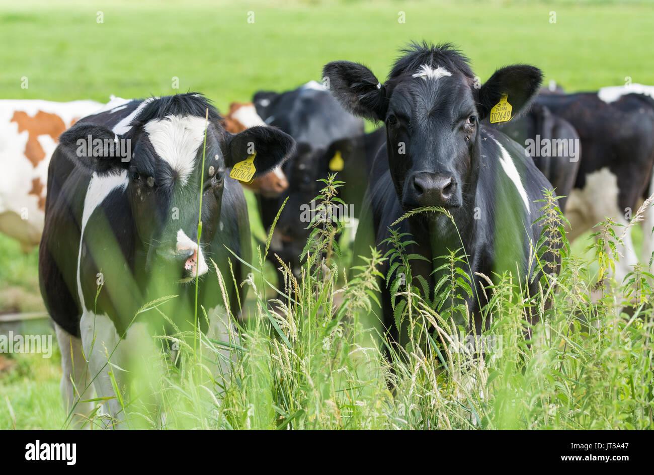 En blanco y negro de vacas en un campo en el Reino Unido, mirando a la cámara. Imagen De Stock