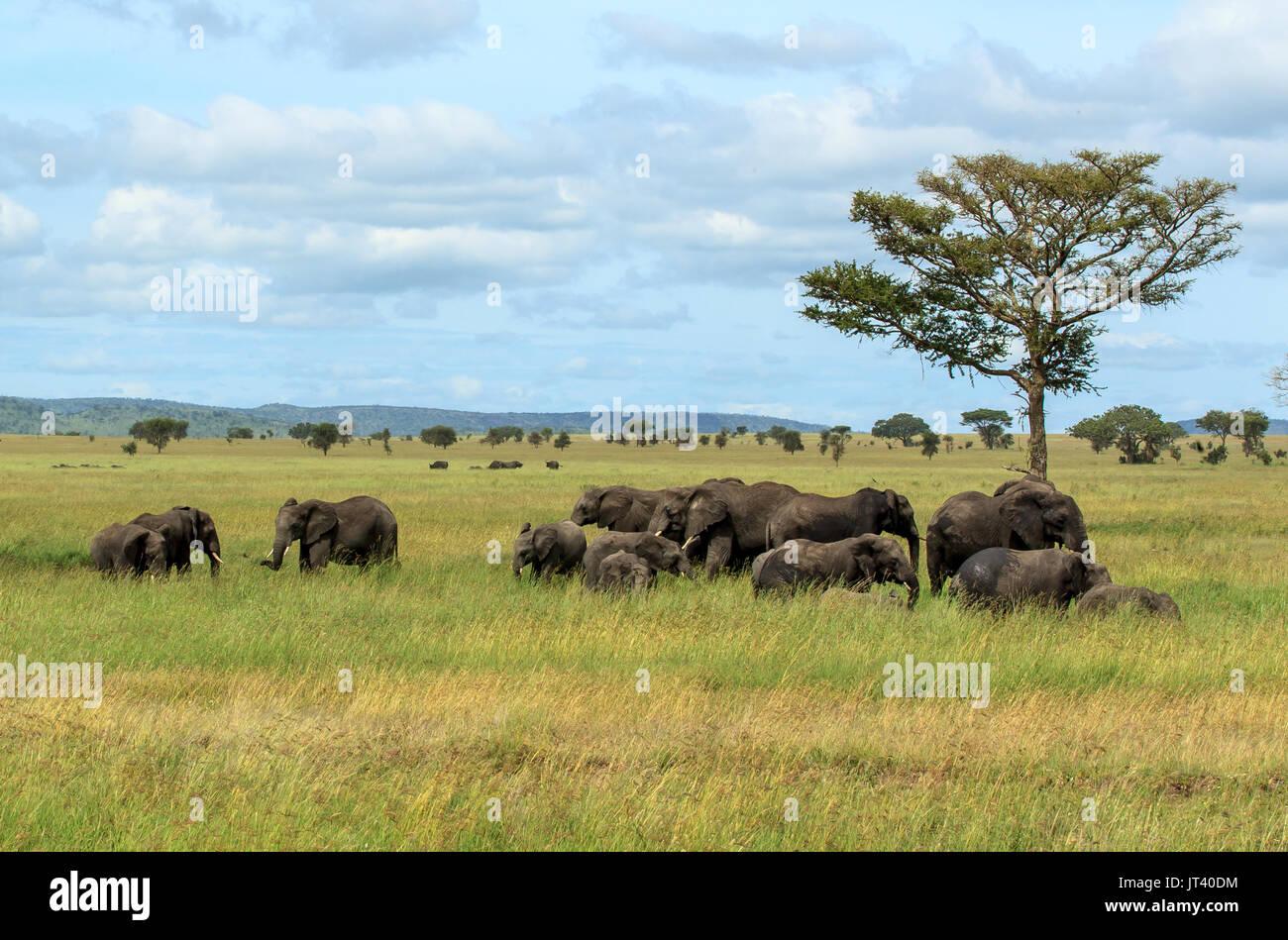 Una manada de elefantes del pastoreo en los pastizales de las llanuras del Serengeti Foto de stock