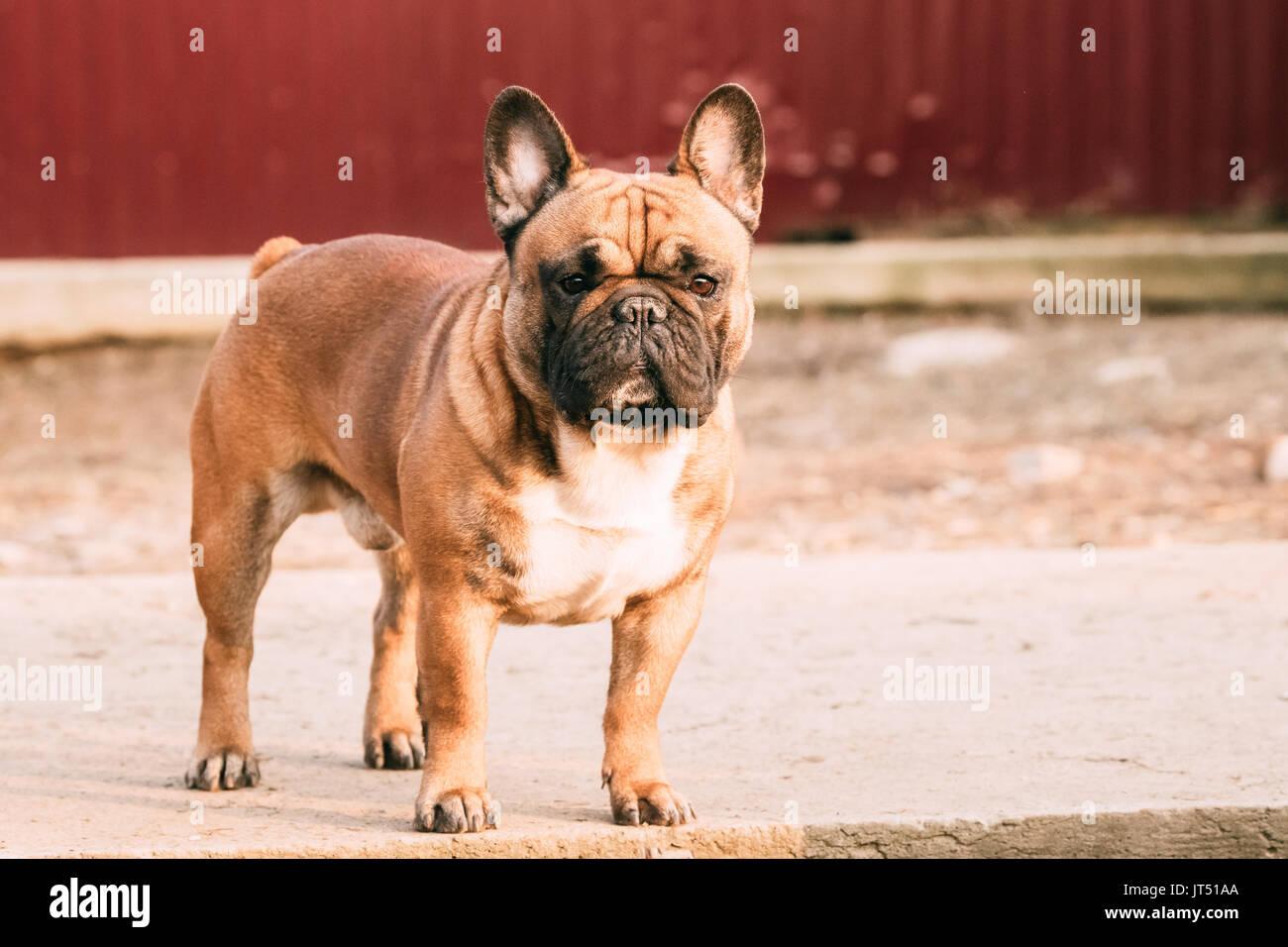 Rojo Adulto Bulldog Francés Perro Exterior Permanente Foto Imagen
