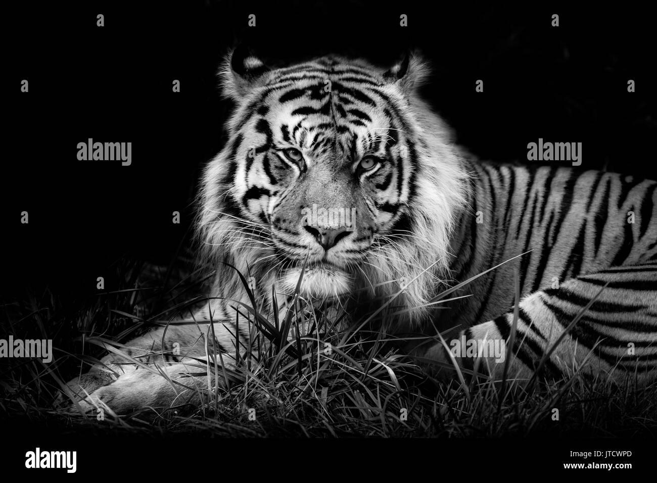 Tigre de Sumatra masculino contra un fondo negro Imagen De Stock