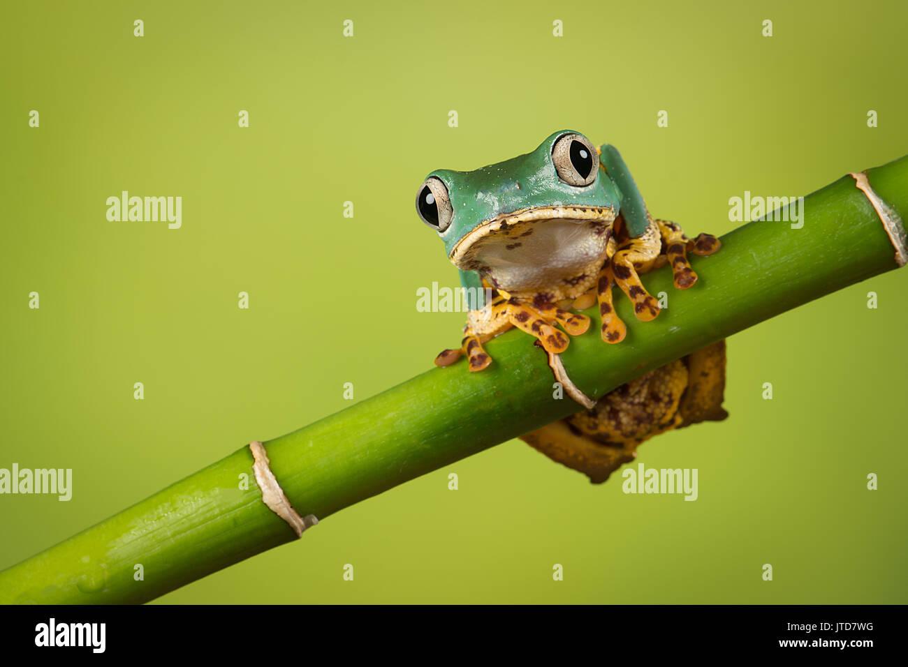 Super Tigre rana mono pierna equilibrio sobre un brote de bambú, también conocida como la rana arborícola ceroso Imagen De Stock