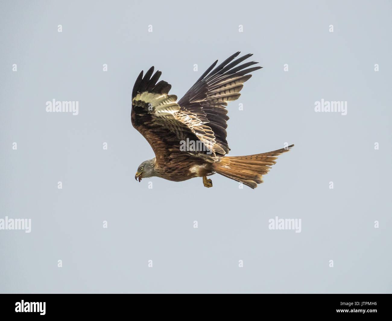 Rojo(Milvus milvus) Kite en vuelo Foto de stock