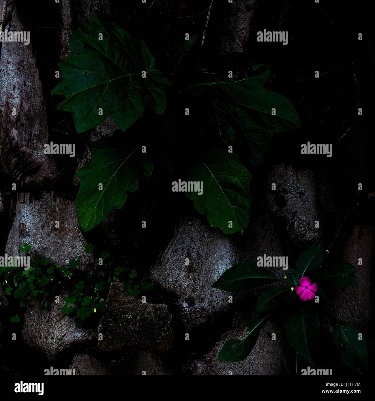 Una imagen de formato cuadrado de una sola flor rosa con hojas de color verde oscuro y piedras - Antecedentes - resumen Foto de stock
