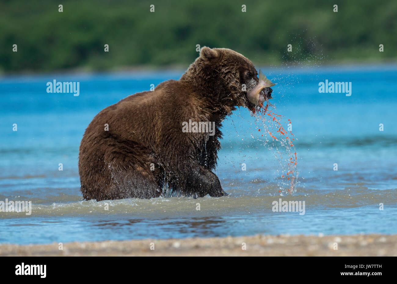 Huevas de pescado salmón sockeye puedan escapar de un tal como está siendo comido por un oso pardo, Kamchatka, Rusia. Imagen De Stock