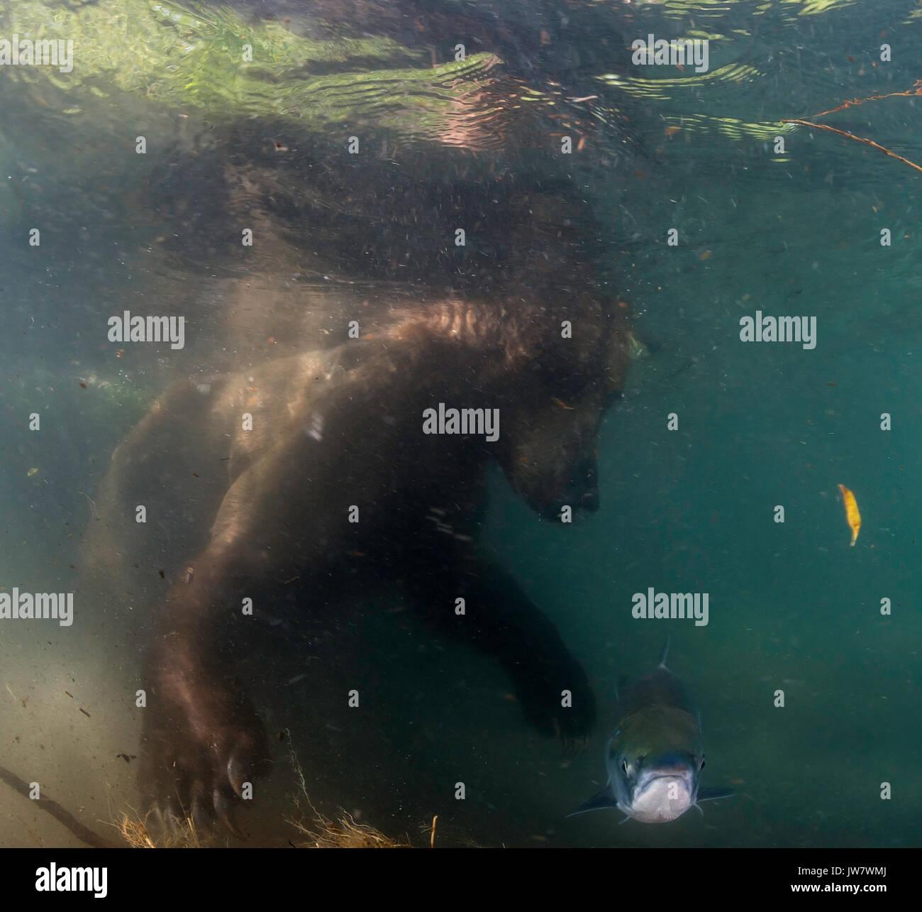 Vista submarina de un oso pardo intentando coger salmones sockeye como migran hasta el río ozernaya para desovar, Kamchatka, Rusia. Imagen De Stock