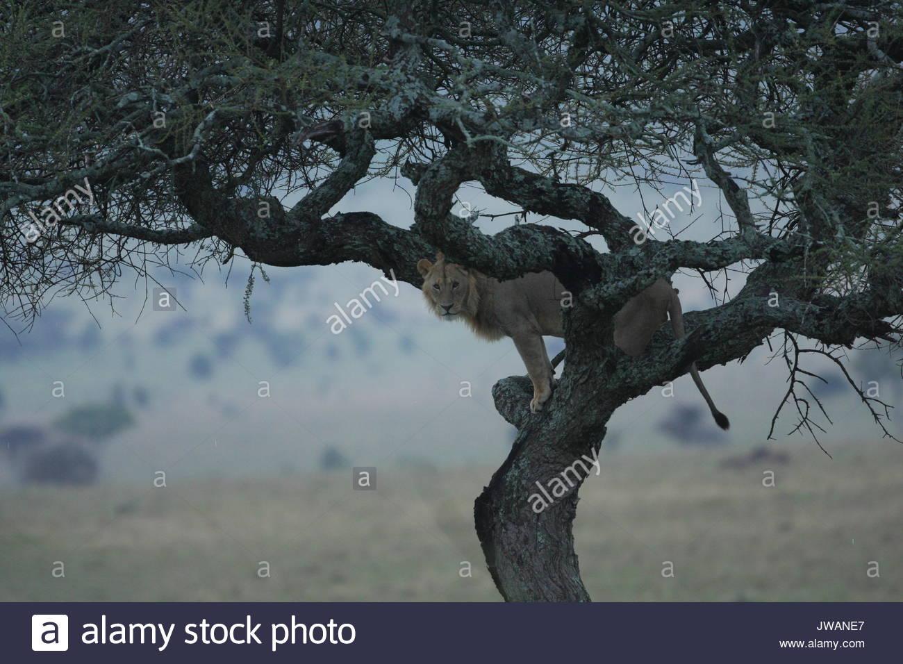 Lion,Panthera leo. Es raro ver a un león en un árbol. Los leones son los grandes felinos y, al igual que una casa cat,este joven león macho atrapado en un árbol. Imagen De Stock