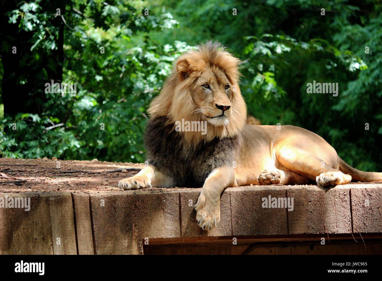 Un león descansando en su hábitat con un fondo verde frondoso. Imagen De Stock