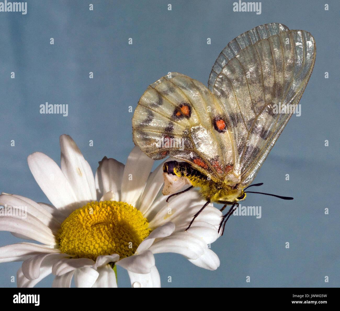 Una hembra de mariposa Parnassian Clodius descansa sobre un ojo de buey daisy. La estructura blanquecina en su abdomen es un sphragis, un enchufe de acoplamiento deposita en su g Imagen De Stock