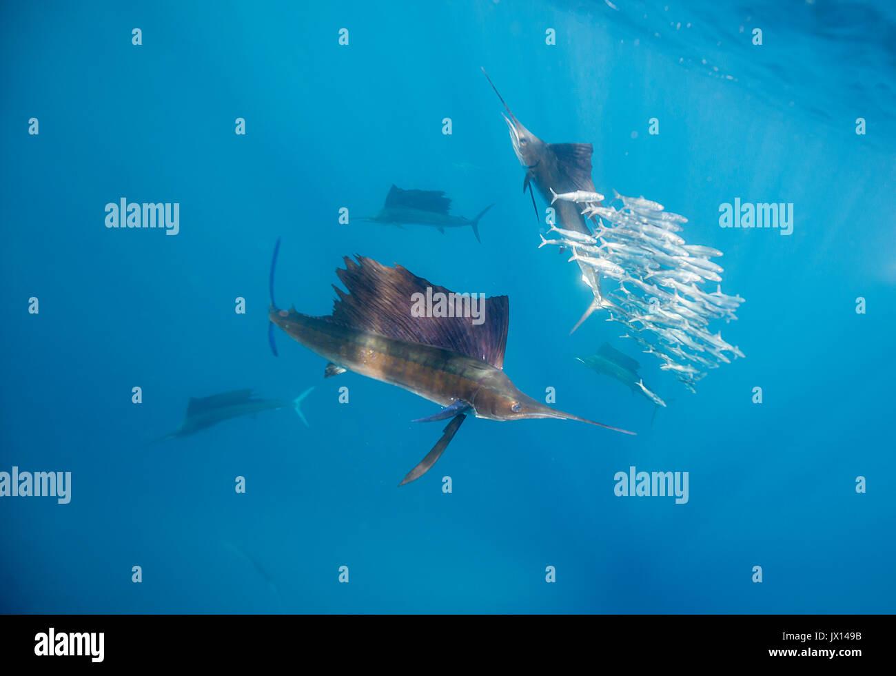 a50c0a13f20de El pez vela del Atlántico alimentándose de sardinas en la costa de la Isla  Mujeres
