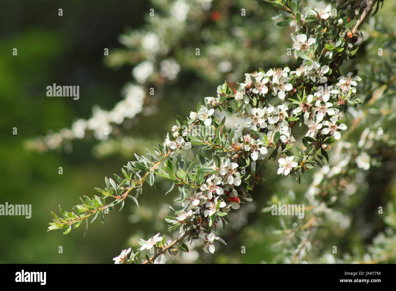 Rbol de t lanudo leptospermum lanigerum un arbusto for Arboles de hoja perenne en galicia