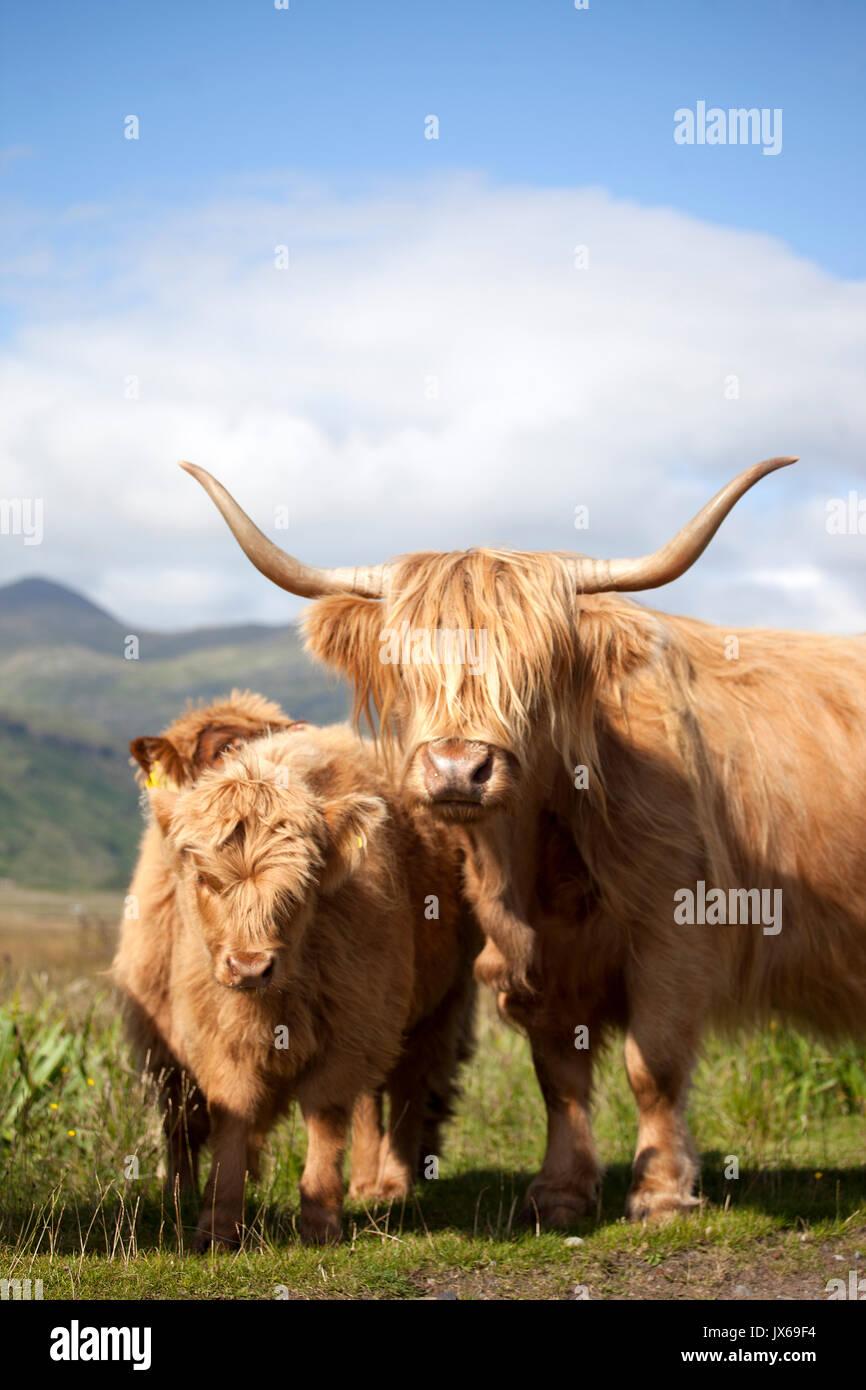 Highland vacas, Escocia Imagen De Stock