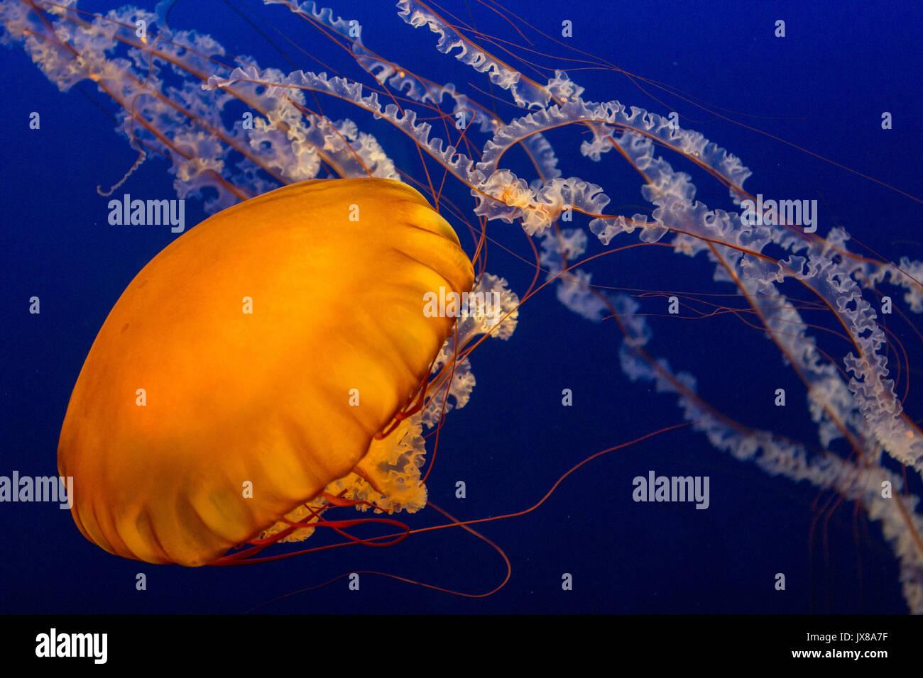 Costa oeste ortiga de mar Imagen De Stock