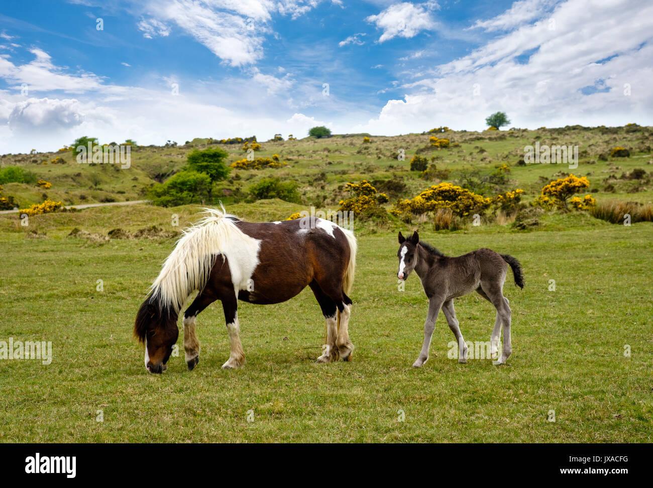 Potro y mare, ponis Bodmin Moor, Cornwall, Inglaterra, Reino Unido Foto de stock