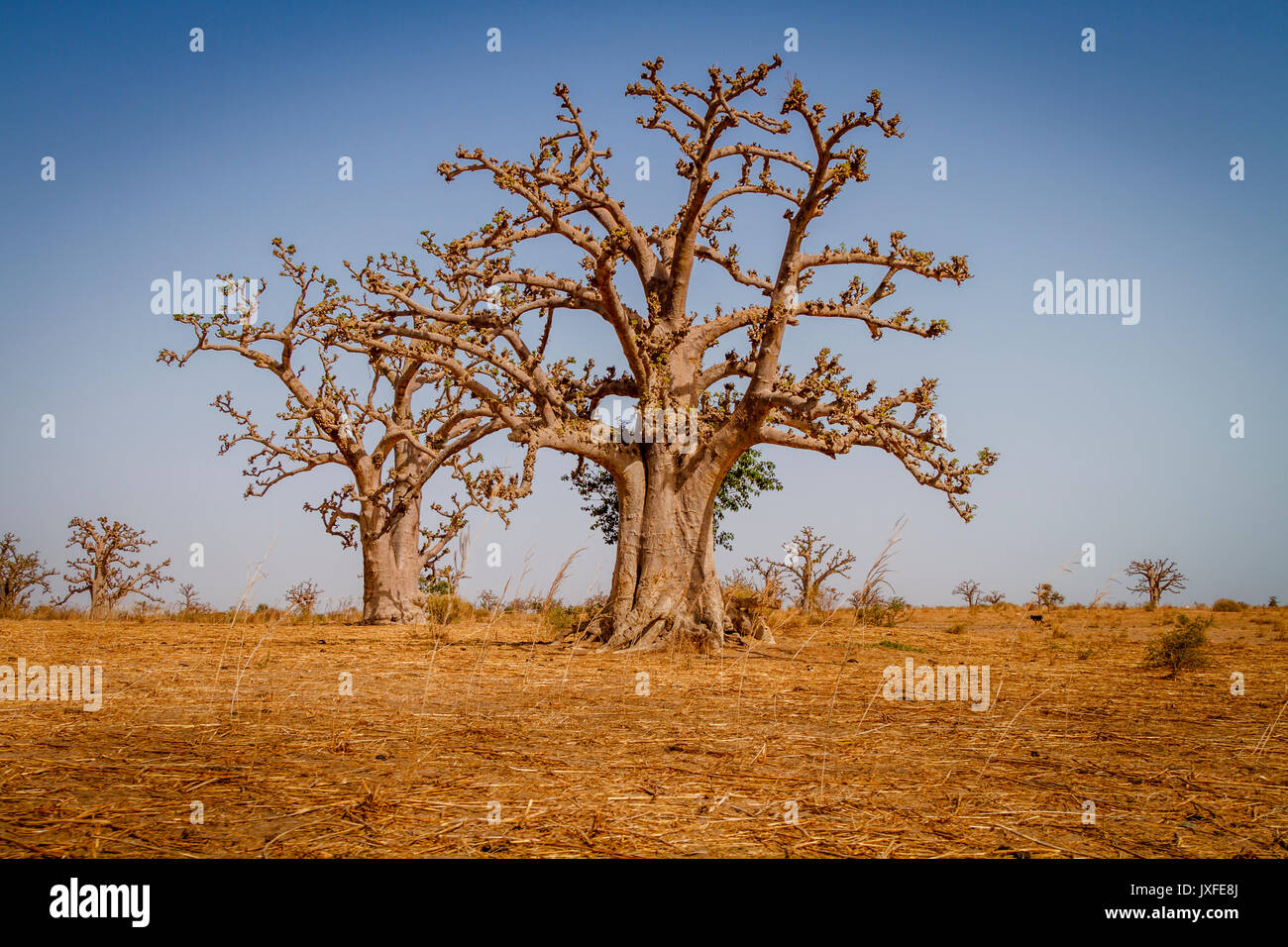 Enormes árboles de baobab en la savanah áridos secos del suroeste de Senegal. Imagen De Stock