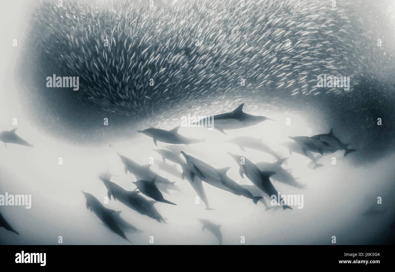 Los delfines comunes trabajando como un equipo para redondear las sardinas en una bola de cebo para que puedan alimentarse de ellos, Eastern Cape, Sudáfrica. Imagen De Stock